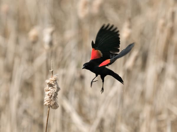Red Winged Blackbird 2  Art   DocSaundersPhotography