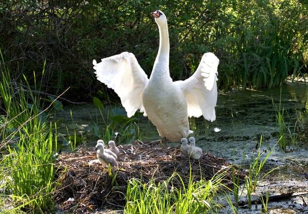 Swan Fledglings 2 Art | DocSaundersPhotography