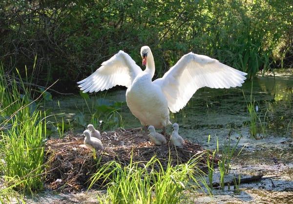 Swan Fledglings 1  Art | DocSaundersPhotography