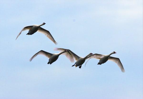 Swans Flying 2  Art   DocSaundersPhotography