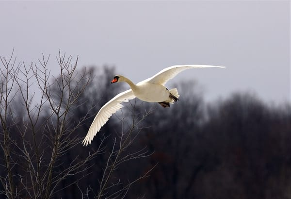 Swan Flying 1  Art   DocSaundersPhotography