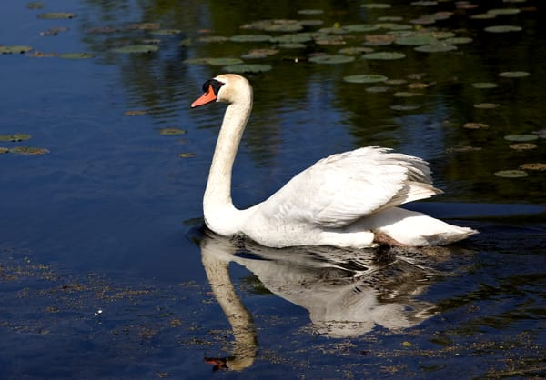 Swan Reflection 2  Art   DocSaundersPhotography