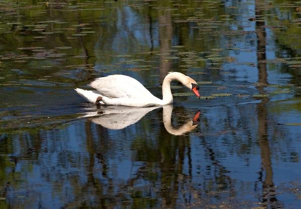 Swan Reflection  Art   DocSaundersPhotography