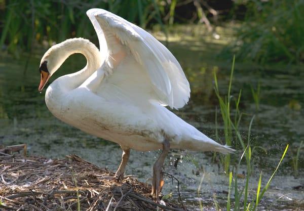 Swan Art   DocSaundersPhotography