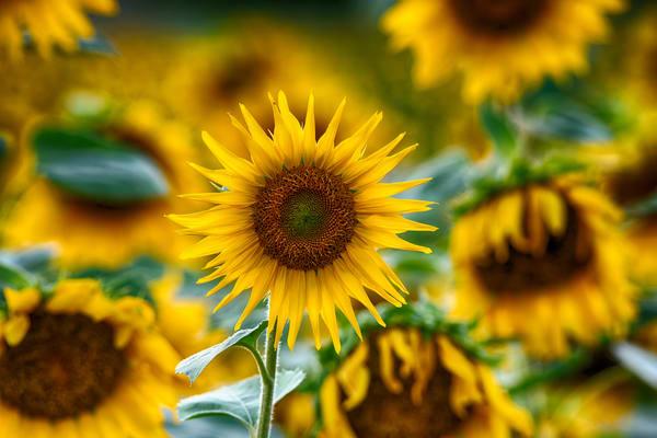 Starburst Sunflower