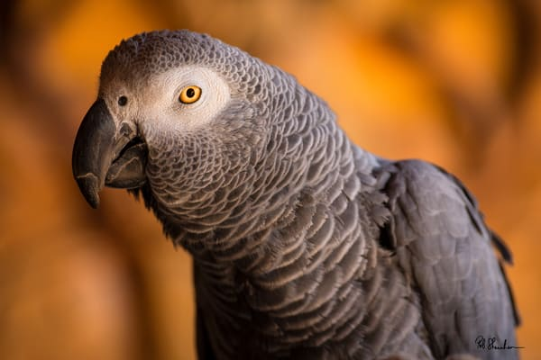 African gray parrot art gallery photo prints by Rob Shanahan