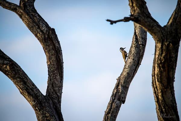 Cardinal woodpecker art gallery photo prints by Rob Shanahan