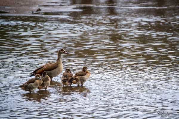 Egyptian geese art gallery photo prints by Rob Shanahan