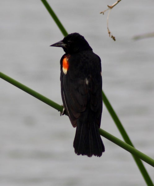 Red Winged Black Bird Art | New Orleans Art Center