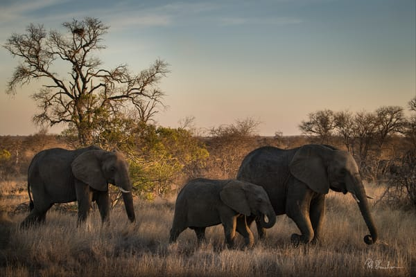 Elephants on safari art gallery photo prints by Rob Shanahan
