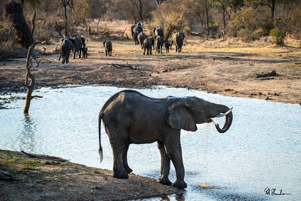 Elephant drinking art gallery photo prints by Rob Shanahan