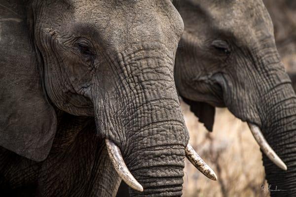 Elephants smiling art gallery photo prints by Rob Shanahan