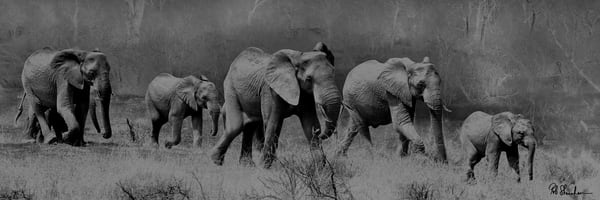 Elephants panoramic art gallery photo prints by Rob Shanahan