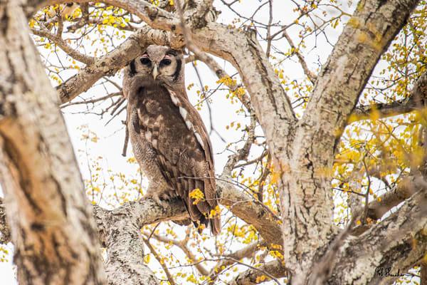Giant eagle owl art gallery photo prints by Rob Shanahan
