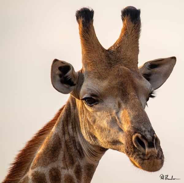 Giraffe color headshot art gallery photo prints by Rob Shanahan