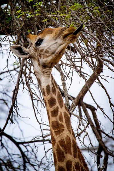 Giraffe tongue art gallery photo prints by Rob Shanahan