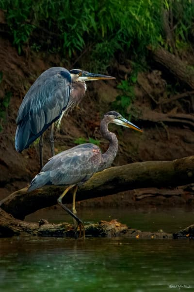 Piggyback   Two Great Blue Herons 9775 Photography Art | Koral Martin Fine Art Photography