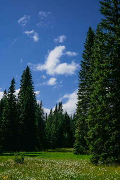 Forest Meadow, Little Naches, Washington, 2020