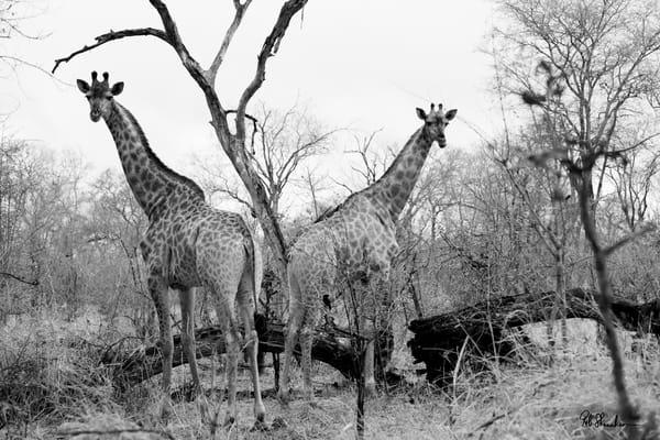 Giraffes on safari art gallery photo prints by Rob Shanahan