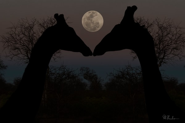 Giraffes and full moon art gallery photo prints by Rob Shanahan