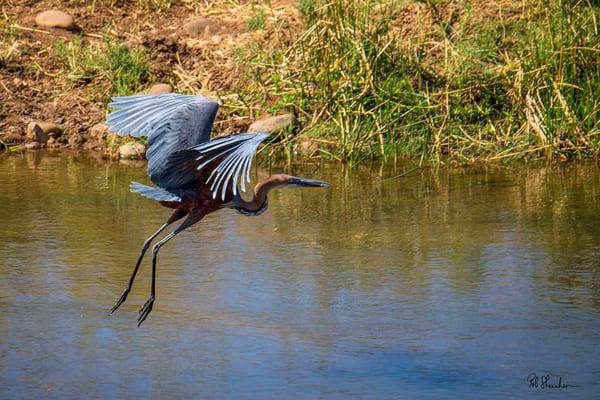 Goliath crane in flight art gallery photo prints by Rob Shanahan