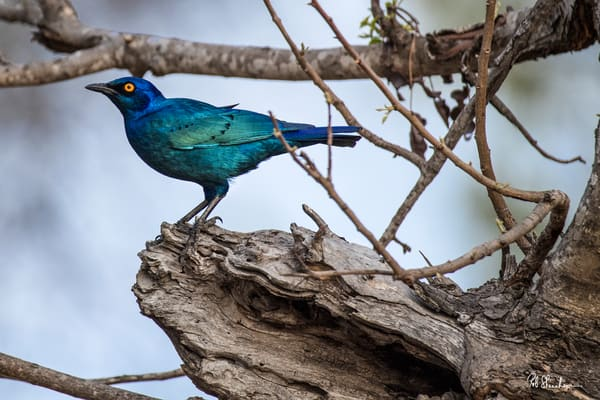 Greater blue eared starling art gallery photo prints by Rob Shanahan