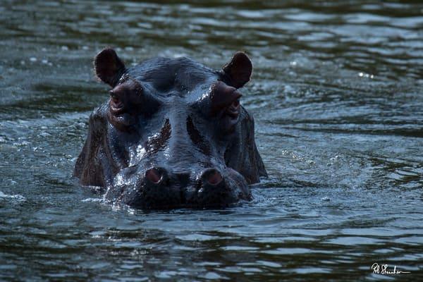 Hippopotamus art gallery photo prints by Rob Shanahan
