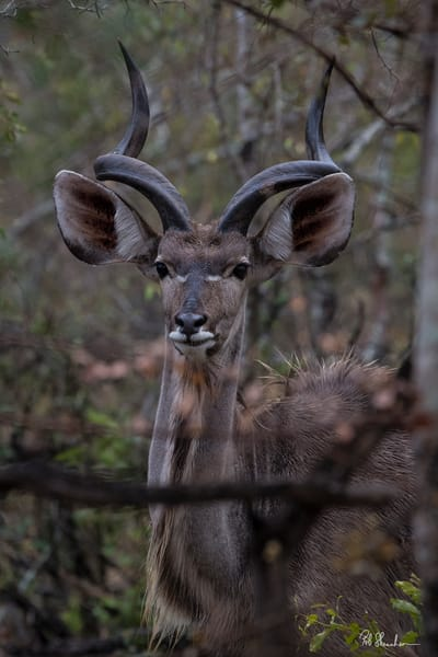 Kudu with horns art gallery photo prints by Rob Shanahan