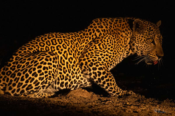 Leopard at waterhole art gallery photo prints by Rob Shanahan