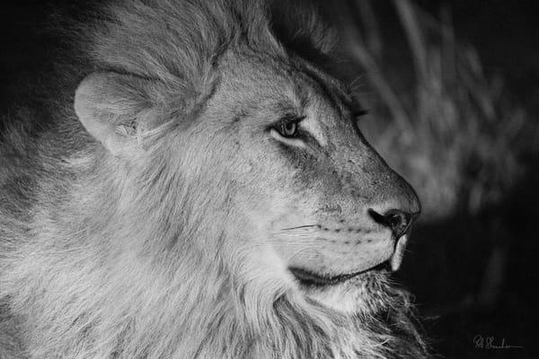 Lion headshot art gallery photo prints by Rob Shanahan