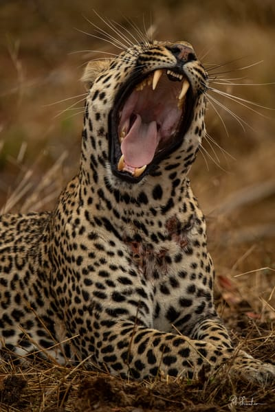 Leopard roaring art gallery photo prints by Rob Shanahan
