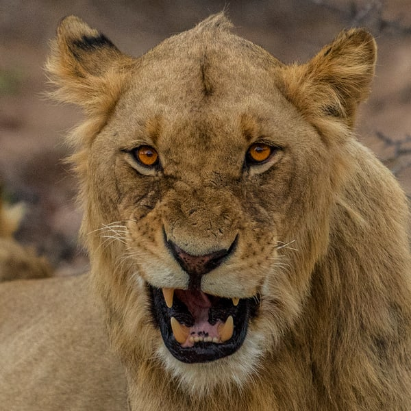 Lion snarl square art gallery photo prints by Rob Shanahan