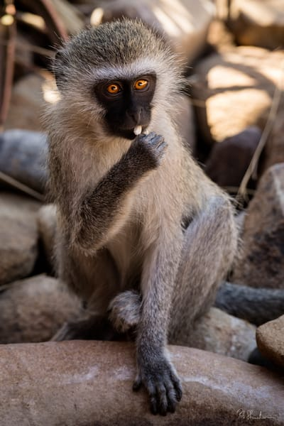 Monkey art gallery photo prints by Rob Shanahan