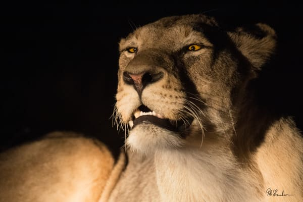 Lioness nightime art gallery photo prints by Rob Shanahan