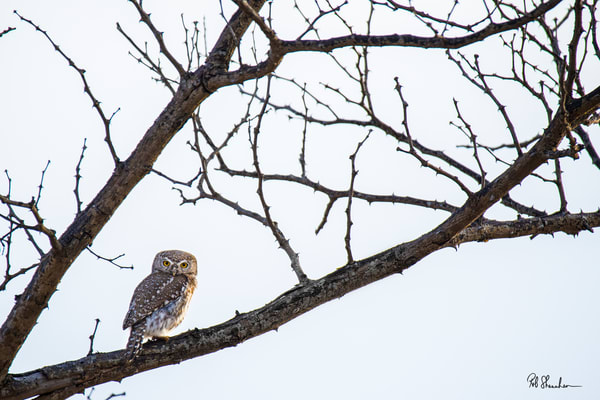 Pearl spotted owlet art gallery photo prints by Rob Shanahan