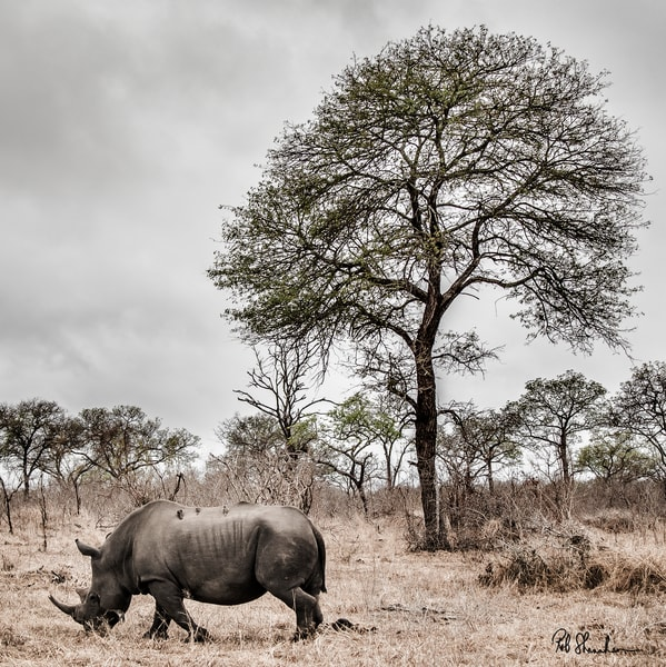 Rhinocerous square art gallery photo prints by Rob Shanahan