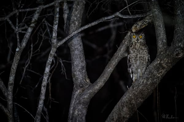 Spotted eagle owl art gallery photo prints by Rob Shanahan