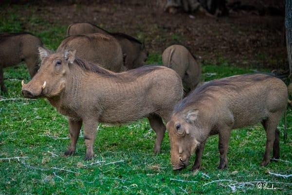 Warthogs art gallery photo prints by Rob Shanahan