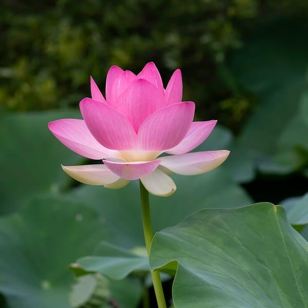 pink-lotus-lotus-janetogren.com