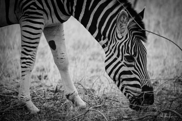 Zebra black & white art gallery photo prints by Rob Shanahan