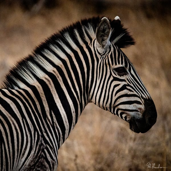 Zebra headshot art gallery photo prints by Rob Shanahan