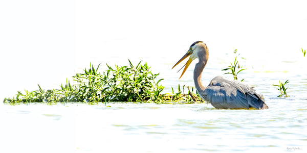 Blue Heron Fishing 0972 1 2 Ratio Art | Koral Martin Fine Art Photography