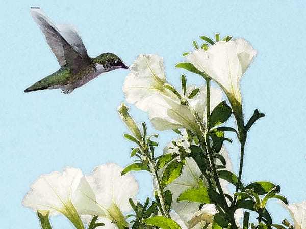 Hummingbird and Petunia