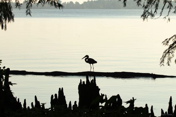 Early Morning Fishing     Blue Heron Silhouette 7514 Art | Koral Martin Fine Art Photography