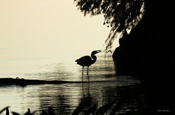 Early Morning Fishing Success     Blue Heron Silhouette 7454 Srm20 Art | Koral Martin Fine Art Photography