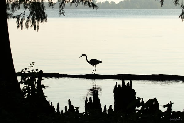 Early Morning Fishing     Blue Heron Silhouette 7517 Art | Koral Martin Fine Art Photography