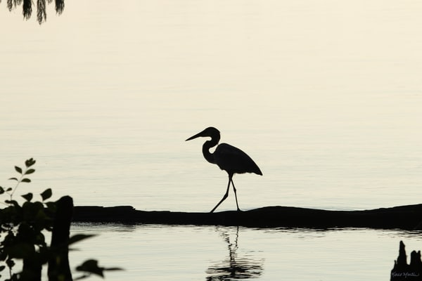 Early Morning Fishing     Blue Heron Silhouette 7524 Art | Koral Martin Fine Art Photography