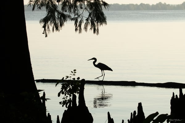 Early Morning Fishing     Heron Silhouettes 7528  Art | Koral Martin Fine Art Photography