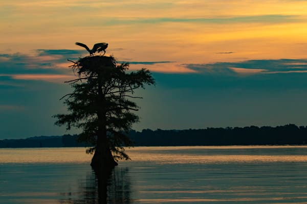 Osprey Nest Wings Sunrise V2  9117  Photography Art | Koral Martin Healthcare Art
