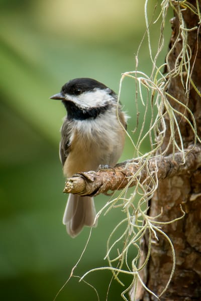 Carolina Chickadee Perched on Branch with Spanish Moss